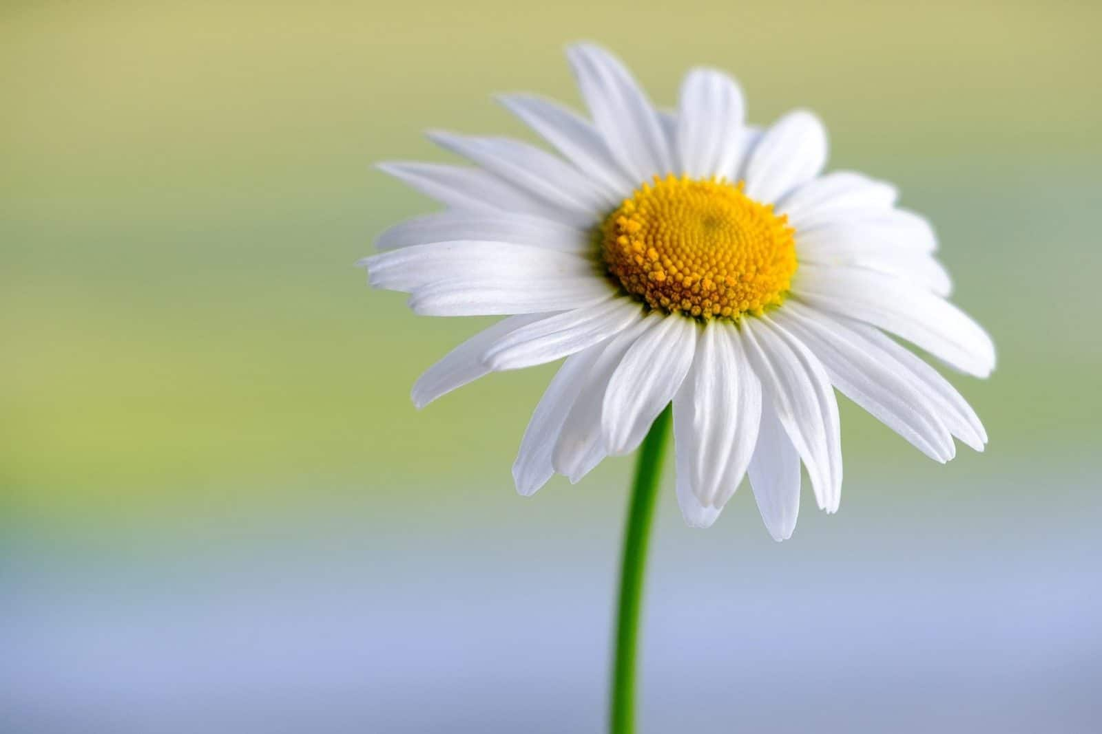 Margerite Blume